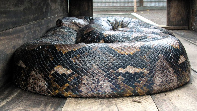 Le python géant, une espèce qui vit dans les forêts tropicales, se rencontre fréquemment en Indonésie et aux Philippines. Il s'attaque à de petits animaux mais rarement à des êtres humains. (illustration)
