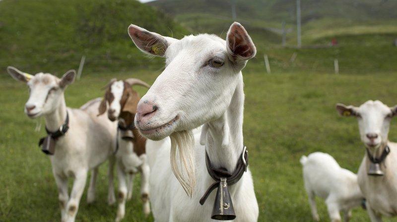 Le troupeau de 200 chèvres sera en route pendant sept mois. (Illustration)
