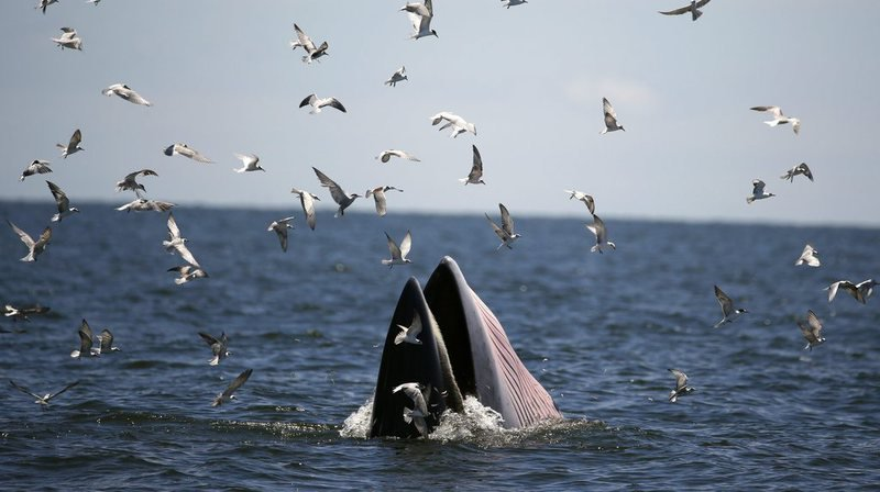 Cette baleine, un jeune mâle, est la dernière victime à avoir été retrouvée à peine vivante à proximité de la frontière avec la Malaisie.