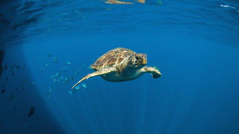 Une grosse tortue verte protégée morte à cause du plastique — Thaïlande