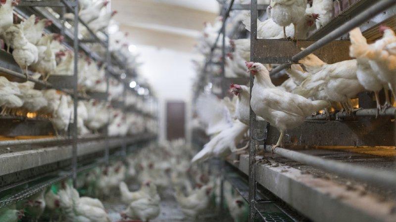 Protection des animaux: une initiative populaire a été lancée pour bannir l'élevage intensif d'ici 25 ans