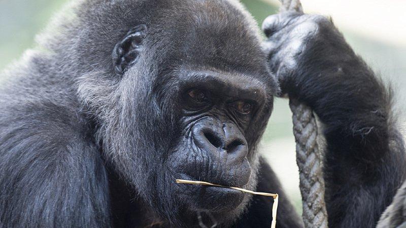 Bâle: mort à 58 ans de Goma, premier gorille né dans un zoo européen