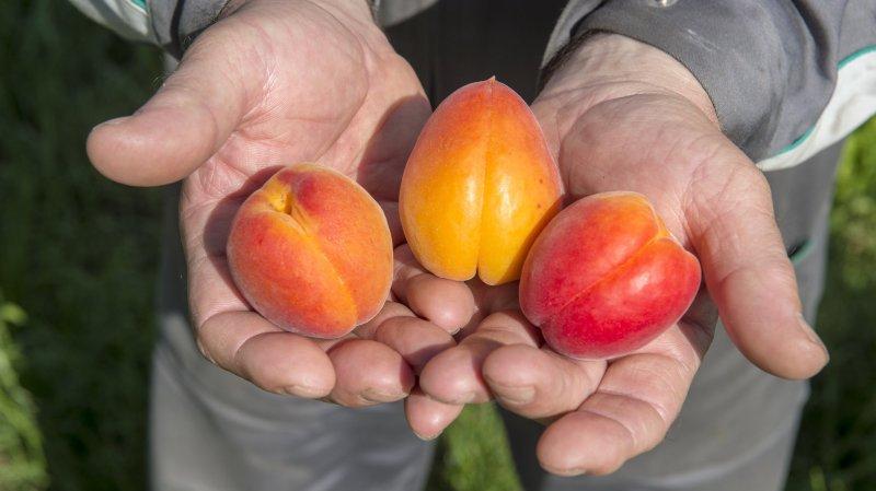 Valais: la récolte d'abricots s'annonce excellente.