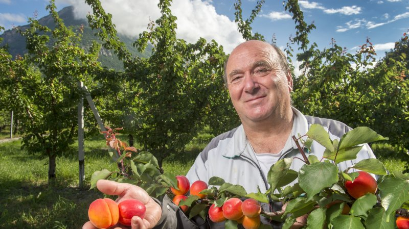 Bernard Lucciarini présente le Priscia, une des variétés précoces qu'il cultive sur son domaine du Courvieux à Martigny.