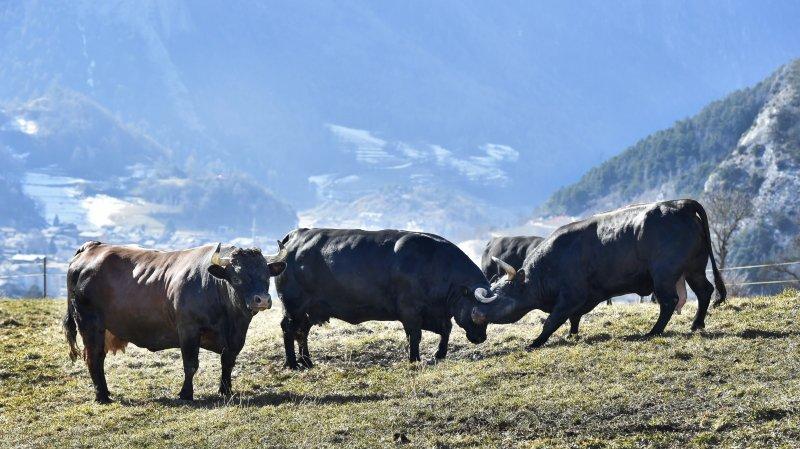 En France, ils testent les vaches de la race d'hérens face au loup