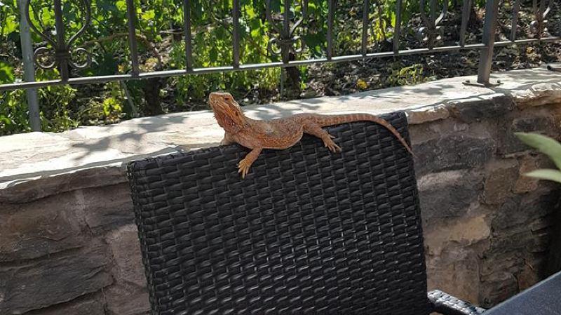 Le lézard a été retrouvé sur la terrasse du restaurant le Muzot à Veyras.