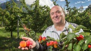 Cultiver des abricots en juin, un challenge pour les producteurs. Reportage chez Bernard Lucciarini.