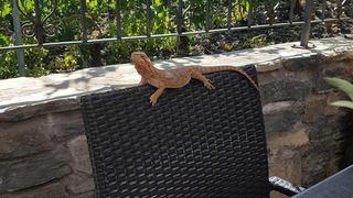 Insolite: il découvre un lézard d'Australie sur la terrasse de son restaurant à Veyras