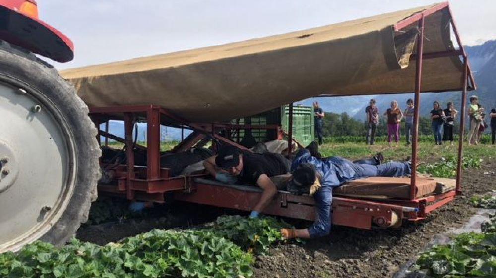Couchés à plat ventre et installés sur une plate-forme fixée à un tracteur qui avance au pas, le cueilleurs récoltent les précieux cornichons.