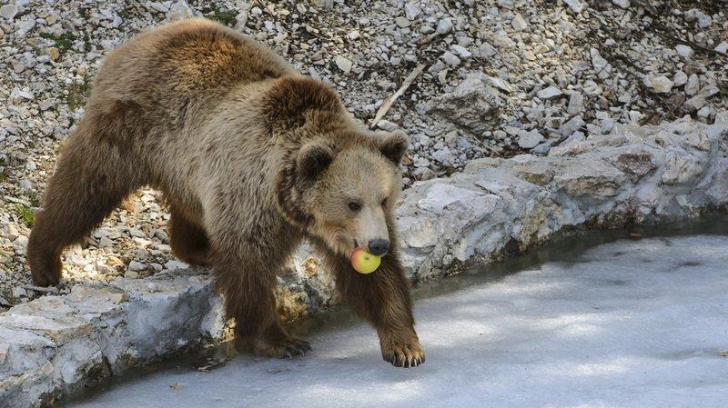 Un ours a été aperçu mercredi dans la commune de la Lenk, à la source de la Simme.