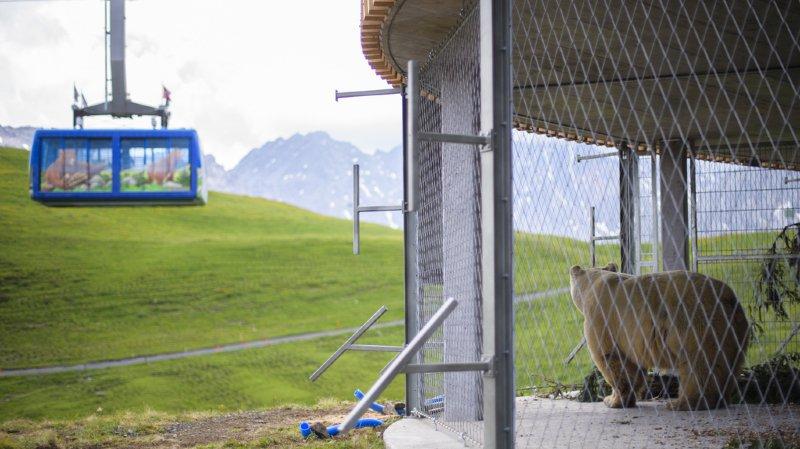 L'ours a dû être transporté en téléphérique pour atteindre sa nouvelle maison. (KEYSTONE/Gian Ehrenzeller)