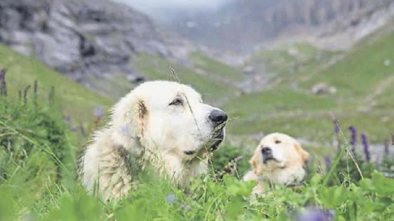 Selon l'office vétérinaire cantonal, il y a en moyenne cinq agressions canines annoncées chaque année en Valais.