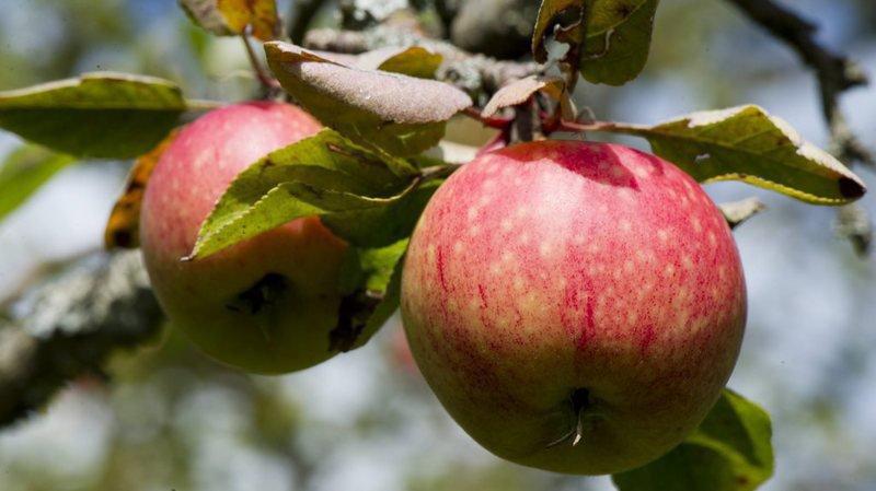 2018 restera comme un excellent millésime pour la pomme suisse.