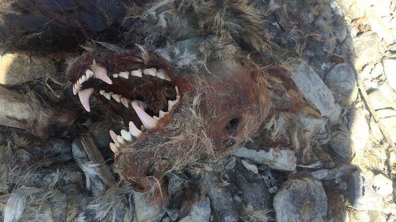 En mars 2016, le cadavre du loup M63 est retrouvé sur les berges du Rhône, dans la région de Rarogne.