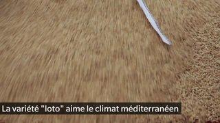 Les rizières du Tessin