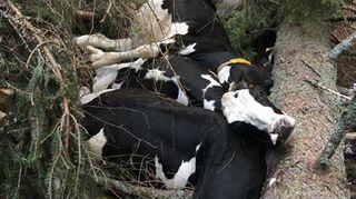 Valais: 12 vaches chutent d'une falaise