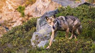 «Si tu pars à la recherche du loup, tu ne le verras jamais…»