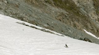 Loup: plus de 25 nez noirs ont été tués sur l'alpage de Zinal la semaine dernière