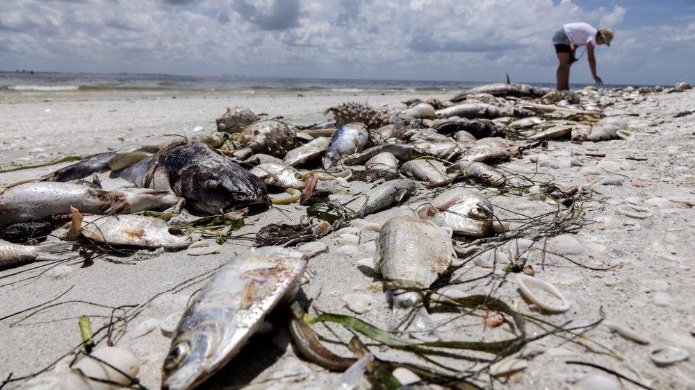 """Floride: une """"marée rouge"""" décime la faune aquatique, état d'urgence décrété"""