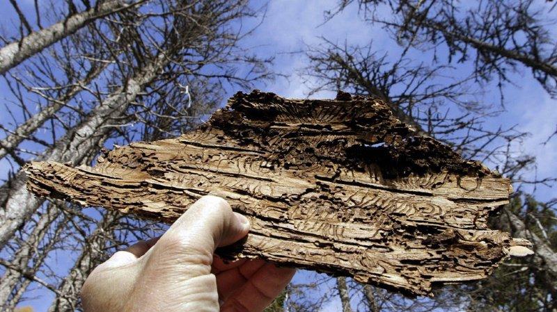 Le bostryche se multiplie sous l'écorce d'arbres tombés lors de tempêtes et des milliers de ravageurs s'attaquent ensuite aux arbres sains.