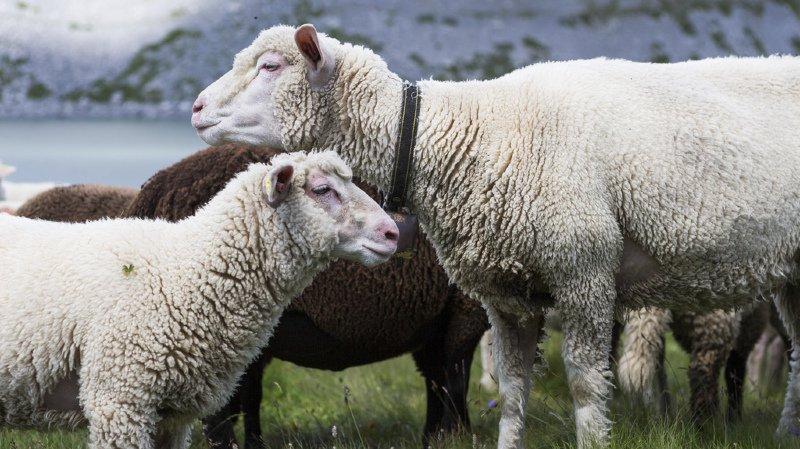 Uri: deux moutons tués par un loup