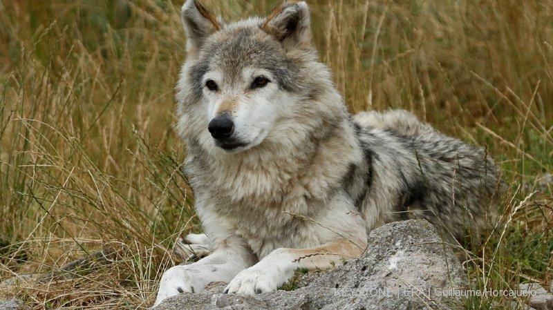 Grisons: un loup tue 18 moutons dans le Val Plattas