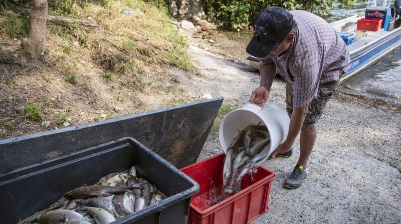 Surmortalité de poissons dans leRhindue aux grosses chaleurs