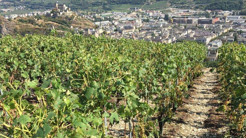 Valais central: un secteur de vignes durement touché par la grêle