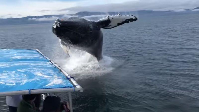 La baleine a bien failli atterrir sur le petit bateau!