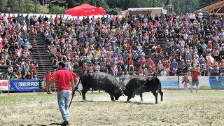 Combat de reines aux Haudères: quatre mille spectateurs dans l'arène