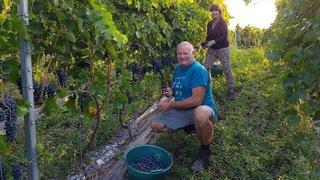 Valais: les vendanges 2018 ont déjà commencé pour certains vignerons comme Caroline Frey et Didier Joris