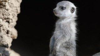 Des bébés suricates au Zoo de Bâle