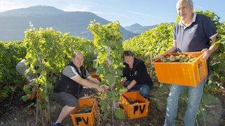 Chamoson: ils découvrent l'art du travail viticole au cœur des vendanges