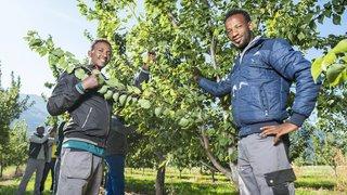 Valais: une formation en arboriculture unique en Suisse romande pour les réfugiés