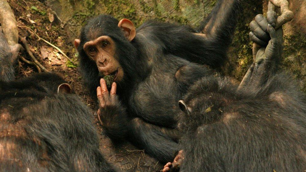 Les chimpanzés de Sonsa en Ouganda ont amélioré leur technique pour boire de l'eau.