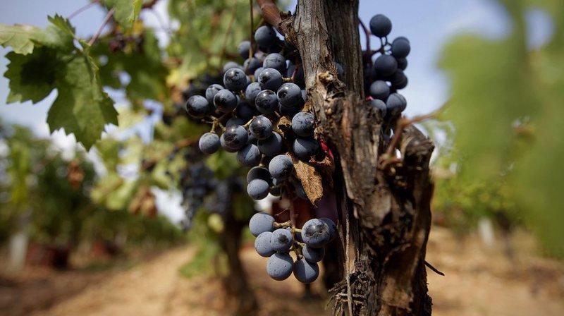 Les chercheurs se sont intéressés à une molécule naturelle bien connue, le resvératrol, notamment présente dans le raisin et que l'on retrouve dans le vin rouge.