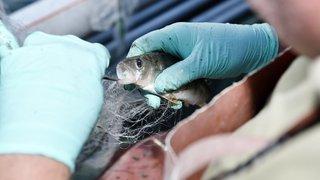 Léman: moins de féras, plus de perches pêchées