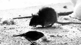Bienne: Des rats privent une partie de la ville d'électricité