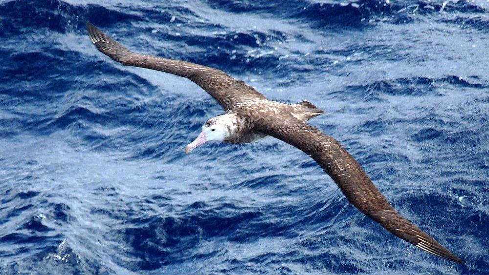Espèce rare d'albatros menacée par des souris géantes