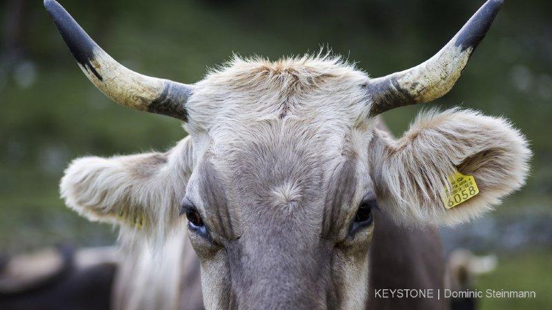 """Votations fédérales: pour ses opposants l'initiative """"vaches à cornes"""" est trop dangereuse et trop chère à appliquer"""