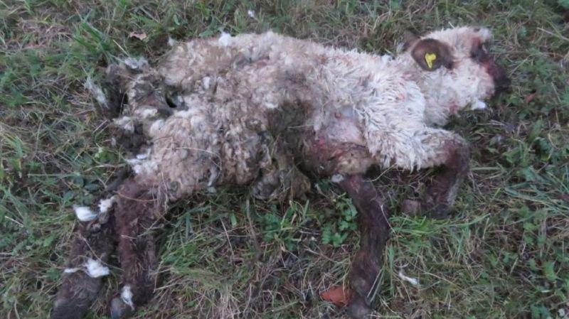 Le premier mouton mort a été découvert il y a une semaine, le deuxième trois jours plus tard.