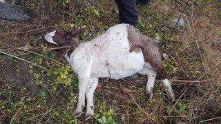 Val d'Hérens: des chèvres ont été tuées, d'autres ont disparu