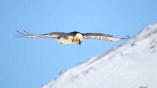 Le coin des kids: observer la drague céleste des gypaètes au Parc naturel Pfyn-Finges
