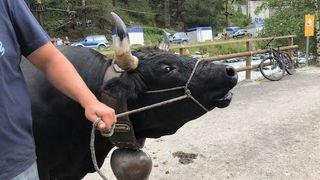 Valais: la Chambre d'agriculture dit non à l'initiative pour les vaches à cornes
