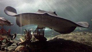 Australie: un nageur décède après avoir été piqué, probablement par une raie