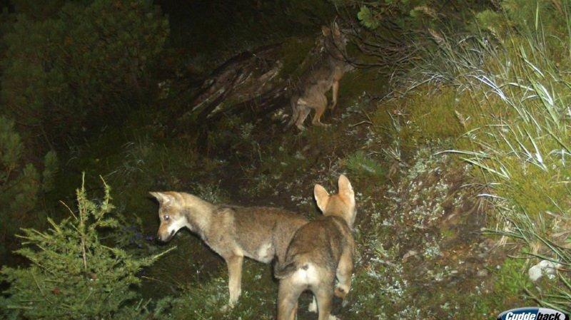 Actuellement, la Suisse compte quatre meutes de loups dont la présence est certifiée. (illustration)
