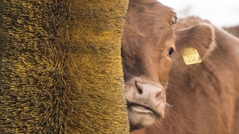 """Près de deux semaines après le vote sur l'initiative sur les """"vaches à cornes"""", une étude montre que l'écornage peut provoquer des douleurs chroniques chez les veaux."""