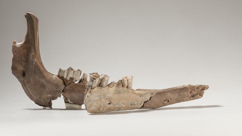 Les parties de la mandibule de chameau - retrouvées à 80 ans de distance - s'emboîtent. La pièce la plus brillante au milieu provient de la vieille excavation.