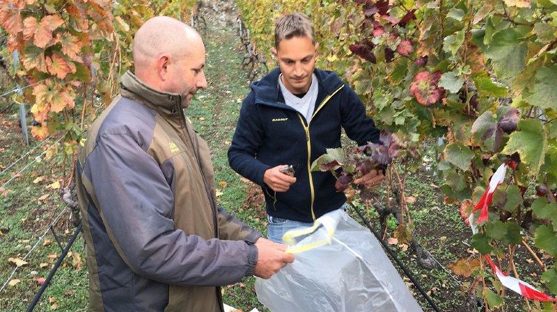 Le canton du Valais lève les mesures de lutte contre la flavescence dorée qui menaçait le vignoble de Fully