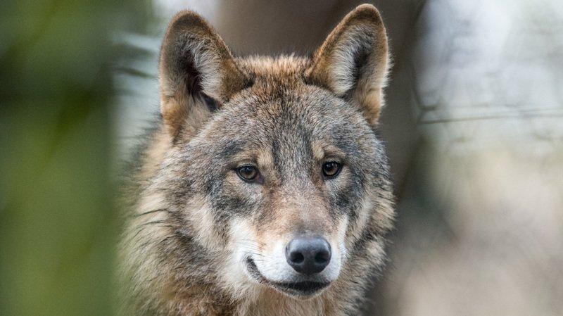 En 2018, les loups présents en Valais ont croqué un nombre record de moutons.